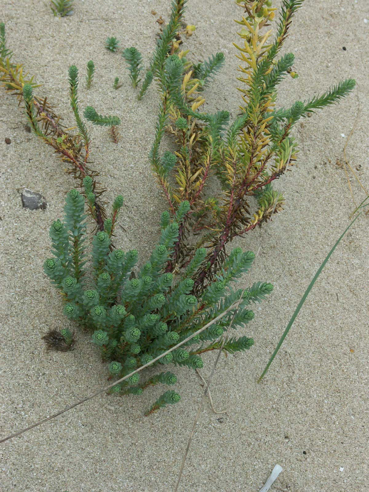 Succulent plants in the sand